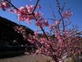 izu20140216sakura03.jpg