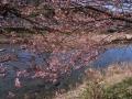 izu20140216sakura05.jpg