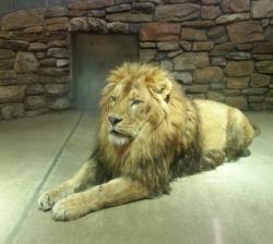 ライオン(屋内)