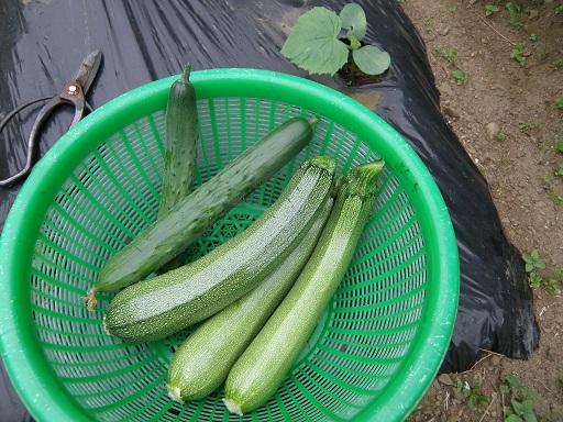 cucumber7183.jpg