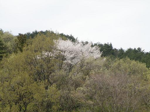 yamazakura281.jpg