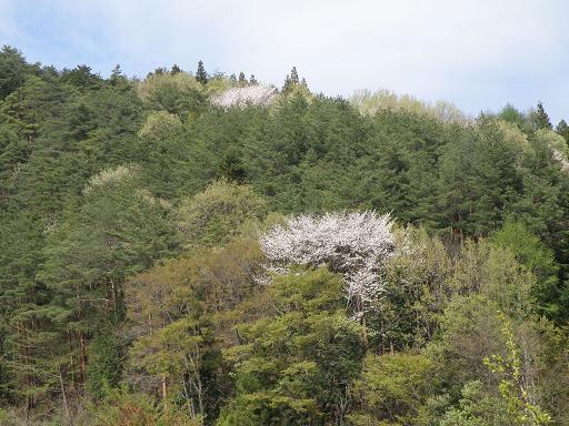 yamazakura282.jpg