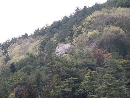 yamazakura284.jpg