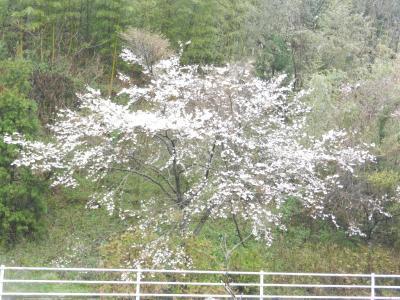 sakura2_convert_20140404092945.jpg