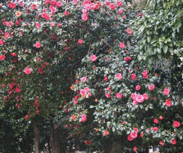 IMG_9865 新庄熊野神社紅椿 (640x534)