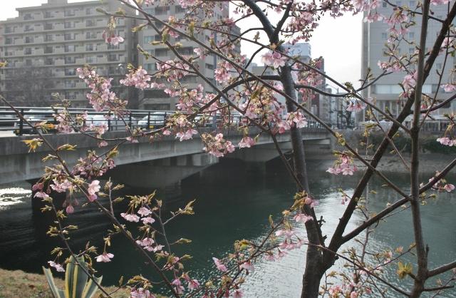 IMG_9928 桜の上柳橋 (640x418)