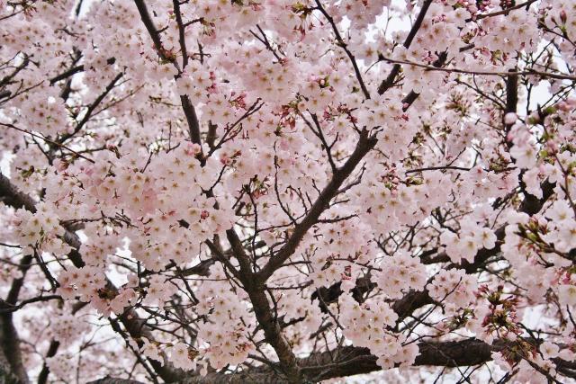 IMG_0142  公園の桜(640x427)