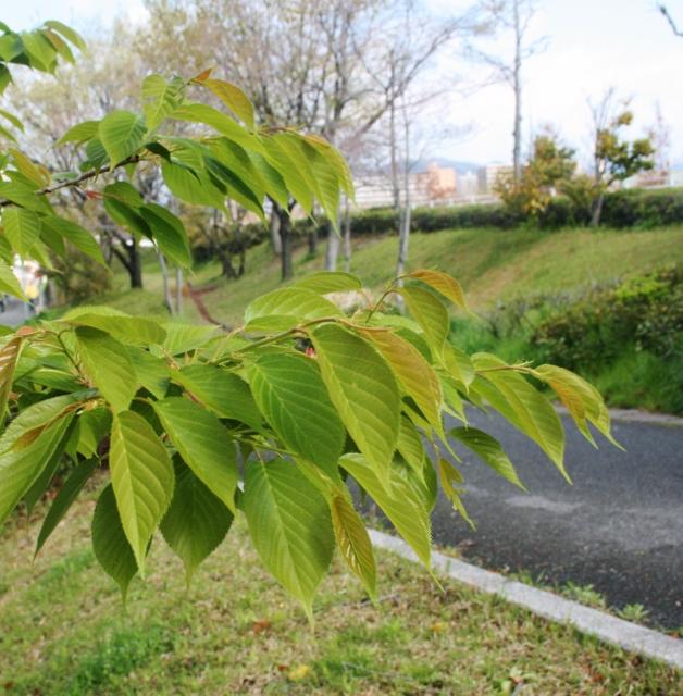 IMG_0259 葉桜(628x640)