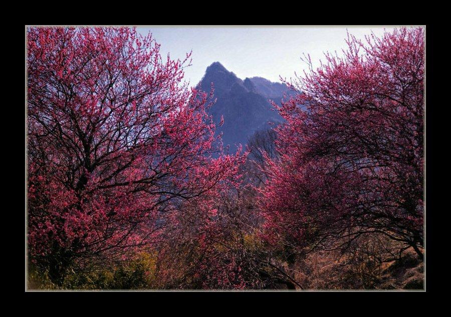 紅梅と妙義山