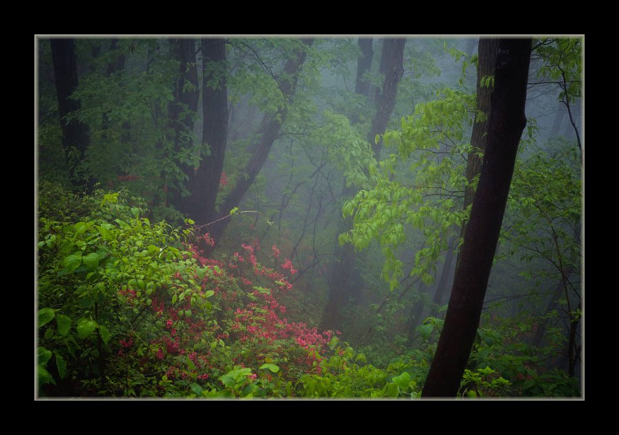 霧の中のツツジ