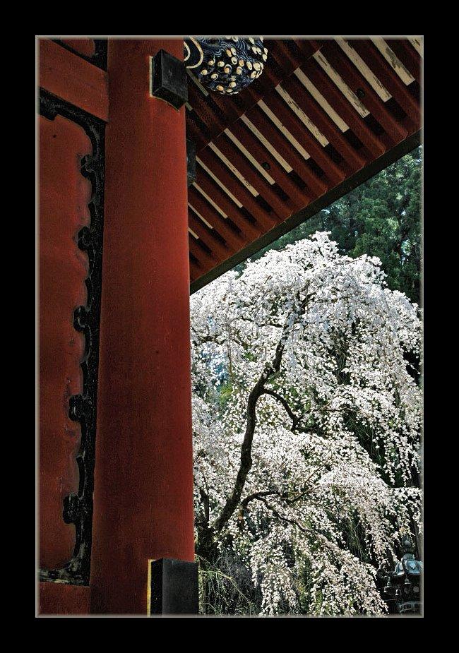 神社のしだれ桜