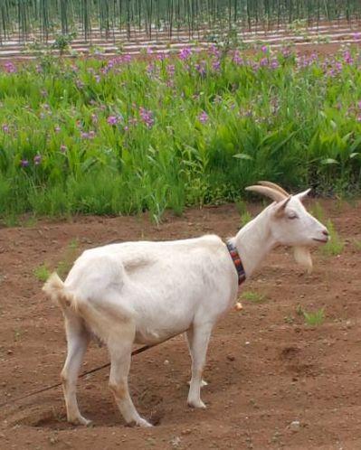 goat_miyamae.jpg
