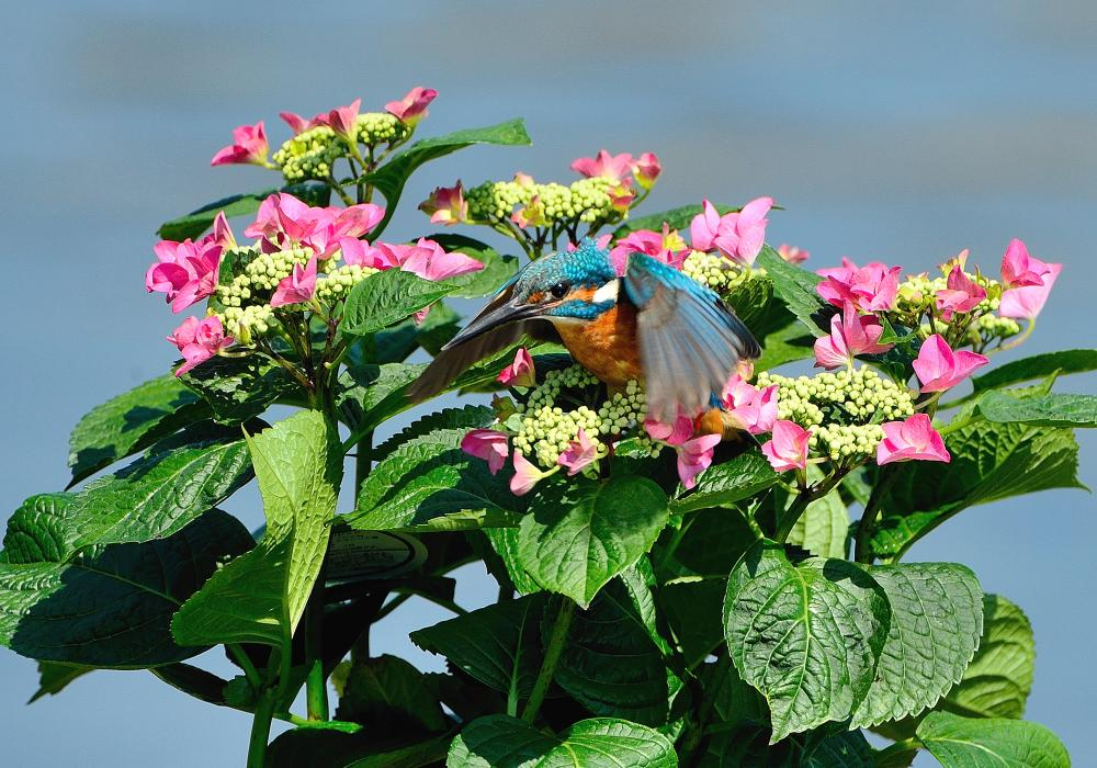 紫陽花カワセミ