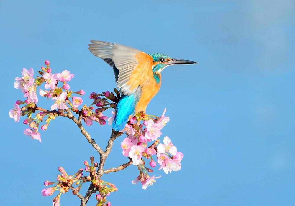 ○М○○の桜カワセミ