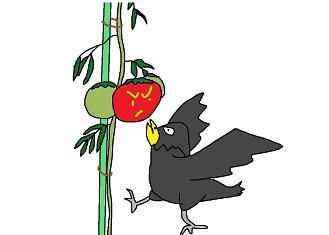 トマトを食うカラス