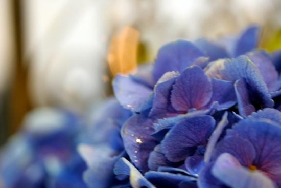紫陽花7日