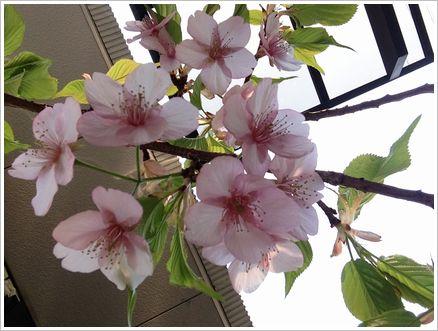 3月17日  桜も もう終盤です