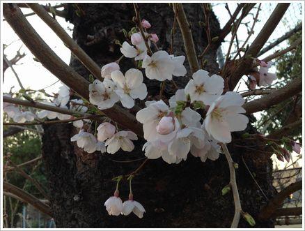 2014-03-28 公園の桜