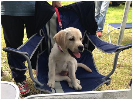 生後3ヵ月 警察犬繁殖犬候補生 ロイ子ちゃん