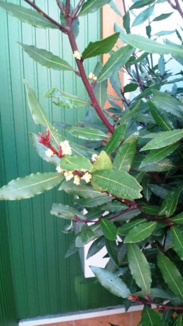 花月桂樹の