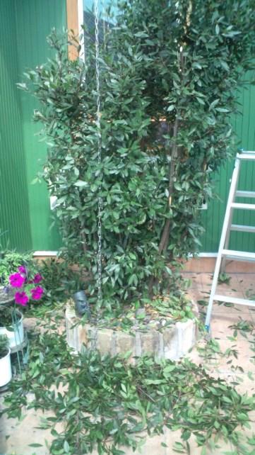 月桂樹の剪定