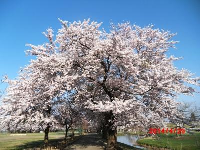 中川原桜3