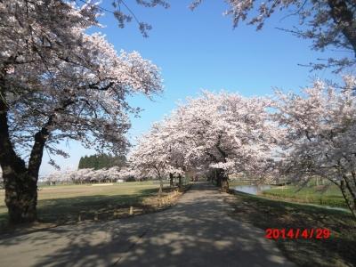 中川原桜4