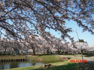中川原桜7