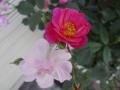 バラ咲き初め