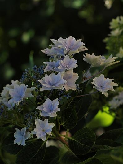 薄紫20140615