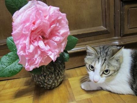 巨大バラとネコ