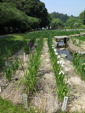 フラワーパーク 花菖蒲園