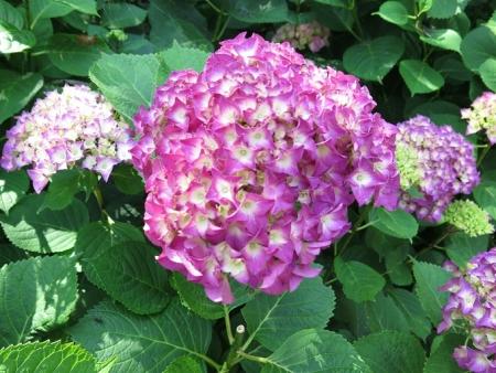 フラワーパーク 紫陽花