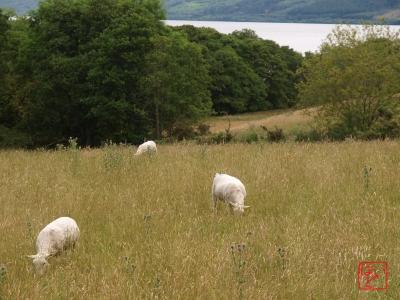 ハイランドの羊たち