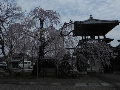 西光寺シダレ桜