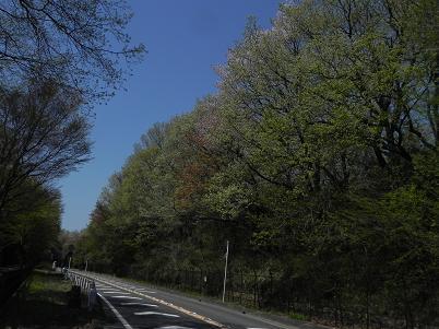 多摩湖自転車道の新緑