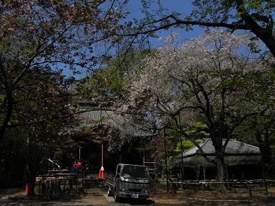 平林寺・桜