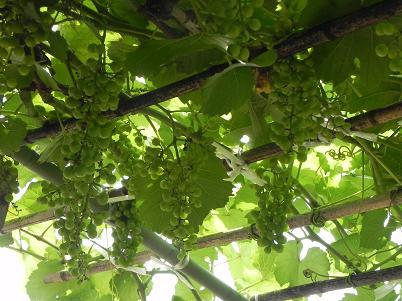 山ぶどうの摘果