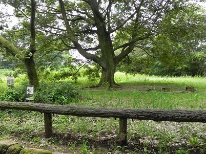 エノキの巨木