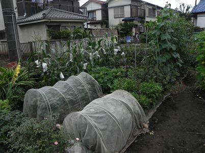 夏野菜の収穫期