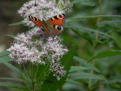 シモツケソウにつく蝶