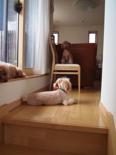 階段上でくつろぐわんこたち