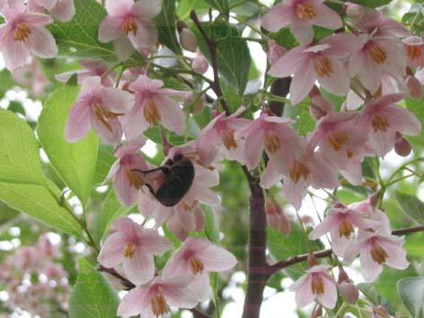 H260602エゴの花