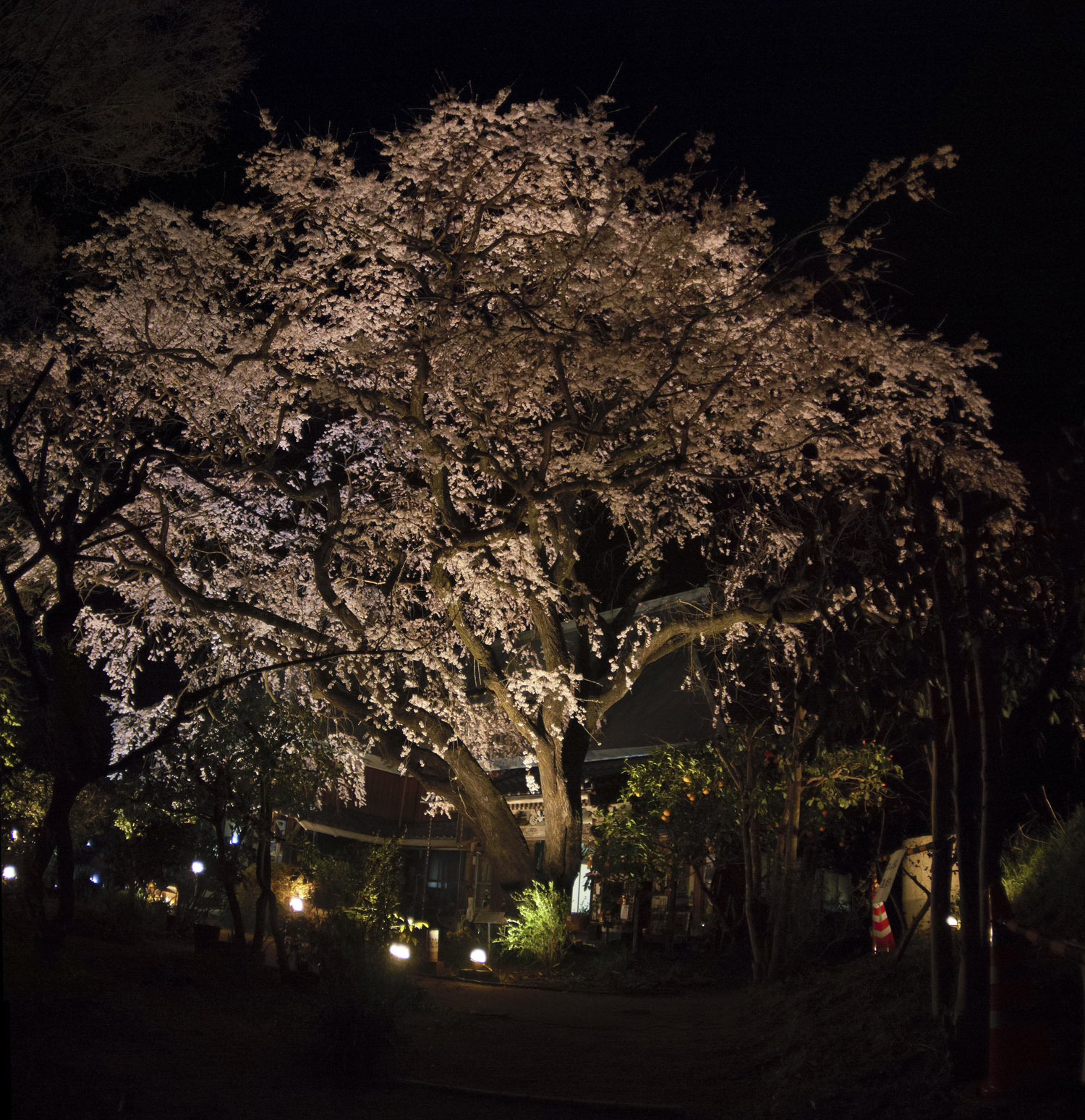 佐賀県神埼市宝珠寺の姫枝垂レ桜04ライトアップ