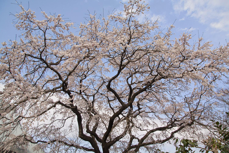 佐賀県神埼市宝珠寺の姫枝垂レ桜01