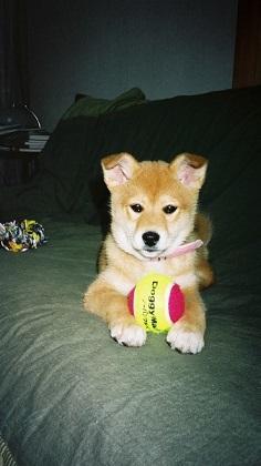 ボール 子犬クー