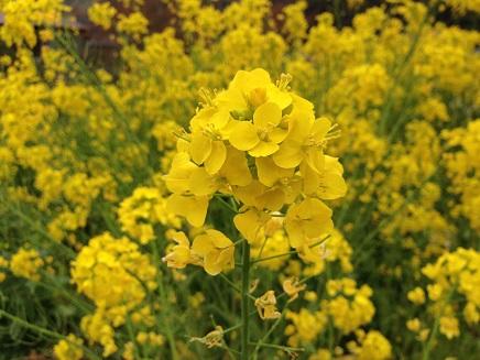 3292014花菜の花S1