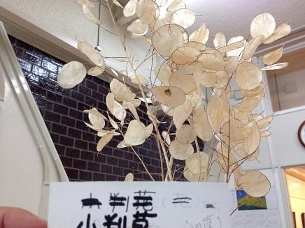 5062014野呂山小判草S9
