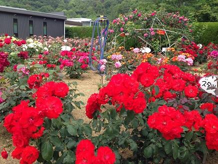 5262014福山SA薔薇S2