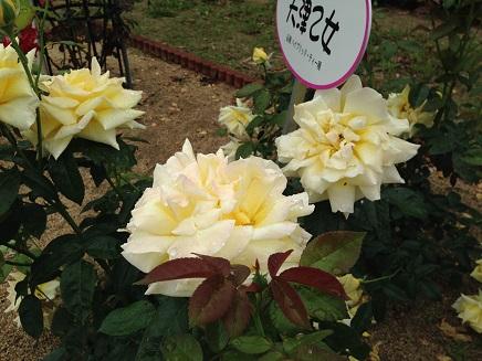 5262014福山SA薔薇S3